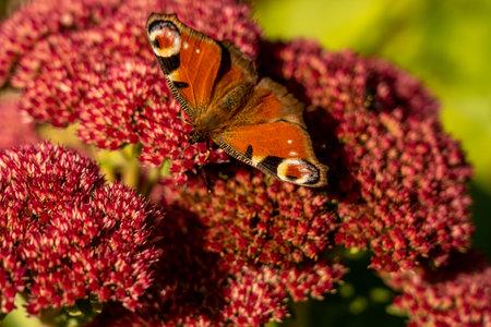 closeup of a red butterfly on red flower, rhoen, hesse, germany