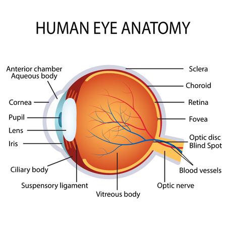 Illustration pour Illustration of the human eye anatomy on the white background. - image libre de droit