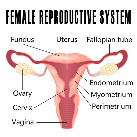 Illustration for Female reproductive system, the uterus and ovaries scheme. - Royalty Free Image