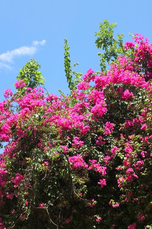 bougainvillea flowers for ex