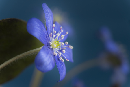 Photo for Close-up of blue Hepatica Nobilis, early blooming spring plants, shades of blue color with copy space - Royalty Free Image