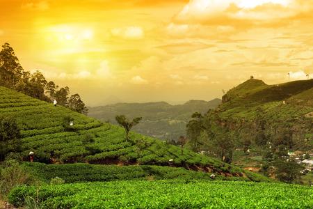 tea plantation landscape sunset