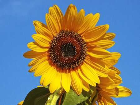 isolated sunflower on the sunny day