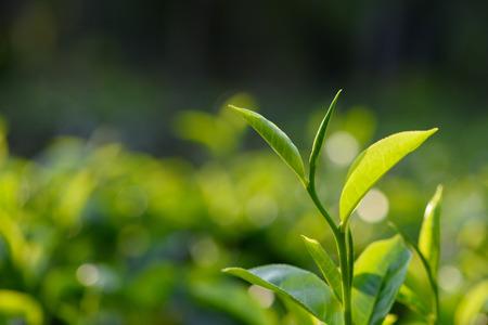 Fresh green tea leaves on tea bush at Sri Lanka tea plantation