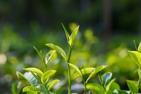 Photo pour Fresh young green tea leaf sprout on tea bush at plantation - image libre de droit
