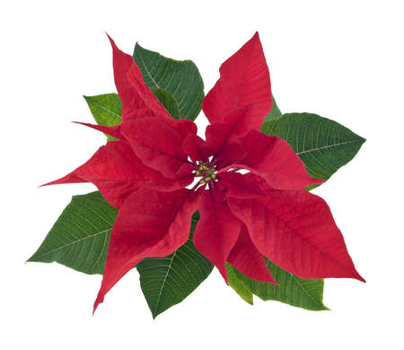 Poinsettia (Bethlehem star) flower closeup isolated on white background with clipping path