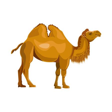 Illustration pour Bactrian camel. Vector illustration isolated on white background - image libre de droit