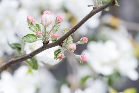 Foto für Apple tree in full bloom with pink flower unfolded buds - Lizenzfreies Bild