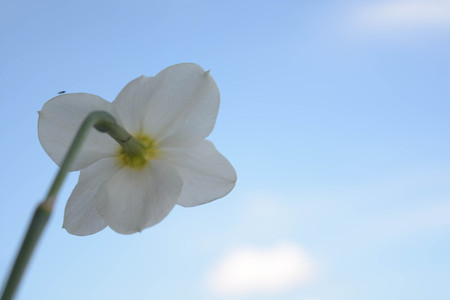 Beautiful flowers on sky background, narcissus, nature, green leaves