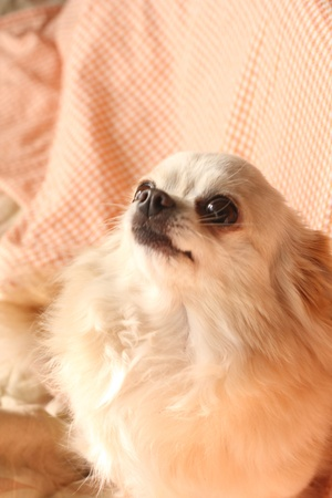 Chihuahua that watches