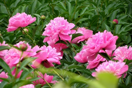 Photo for flowering bush peonies rozovyyh - Royalty Free Image