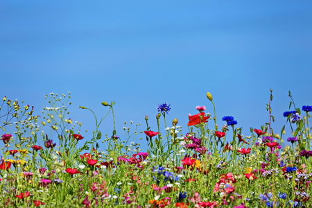 Photo pour Flower meadow in the summer with blue sky from the mouse perspective - image libre de droit