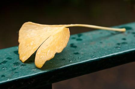 closeup of ginkgo biloba leaf by rainy day