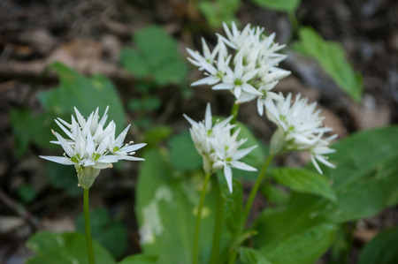 closeup of wild garlic flowers in the forest