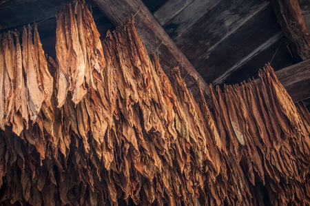 closeup of suspended tobacco leaves in barn