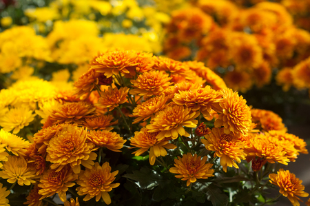 Foto per closeup of colorful chrysanthemums at gardening store - Immagine Royalty Free