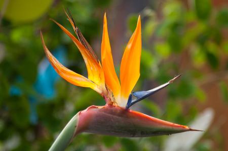 Photo pour closeup of paradise bird flower in a tropical garden - image libre de droit