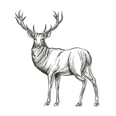 Illustration pour Hand drawn deer. Animal wild, horn and nature wildlife, mammal reindeer, horned antler, sketch vector illustration - image libre de droit
