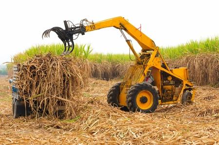 Harvest sugarcane in Thailand