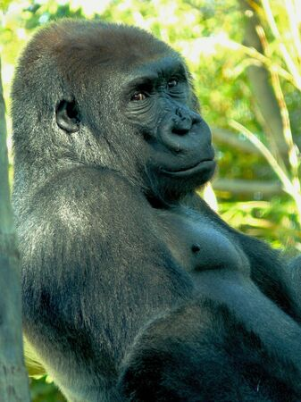 Gorilla at San Diego Zoo