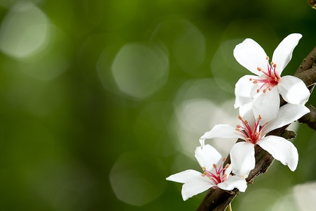 Foto de Aleurites Montana flower, white mix with nice background  - Imagen libre de derechos