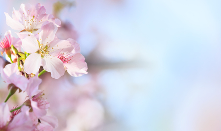 Photo pour The Pink sakura petals flower background. Romantic blossom sakura flower petals - image libre de droit