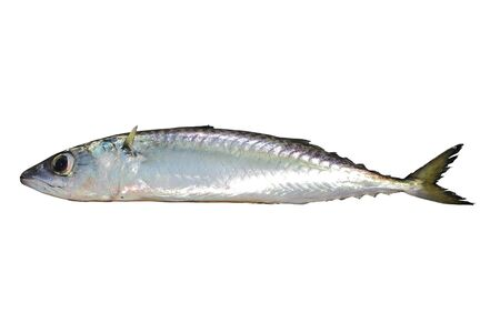 Photo pour Chub mackerel, Pacific mackerel, or Pacific chub mackerel (Scomber japonicus) fish alive isolated on white background. - image libre de droit