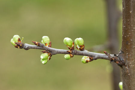 Spring tree buds