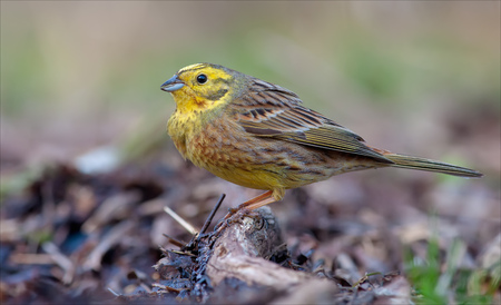 Male Yellowhammer puffing near the ground