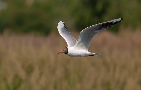 Black-headed gull in flight over a river
