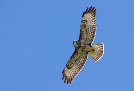 Common buzzard soaring in sky