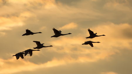 Group of Whooper swans in flight at sunset