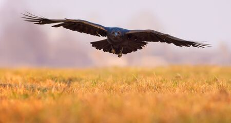 Common Raven incoming flight low over a field in the morning