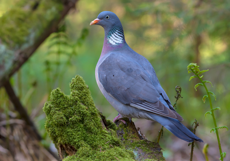 Photo for Common wood pigeon gracefully standing on an aged mossy stump in sweet lighten fern forest - Royalty Free Image