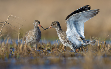 Male and female Common redshanks stands together in small overgrown lake with upright lifted position of wings and beaks very close to each other