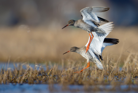 Moment of action landing of couple male and female common redshanks in overgrown waterpond or small lake