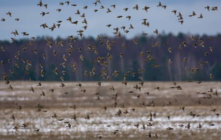 Very big flock of Common redpoll flies over dry grass field and forest in winter