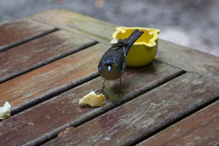 La Palma chaffinch, fringilla coelebs palmae