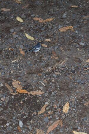 La Palma chaffinch, fringilla coelebs palmae in Sacuces.