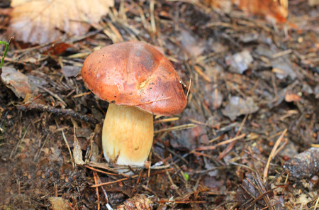 a porcino mushroom in the forest