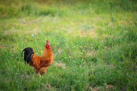 Photo pour Rooster on the meadow - image libre de droit