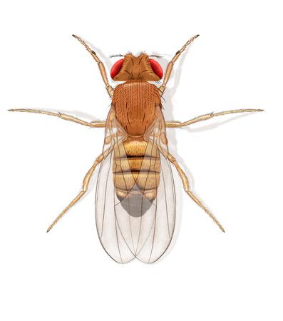 Foto de Digital illustration of a fruit fly - Imagen libre de derechos