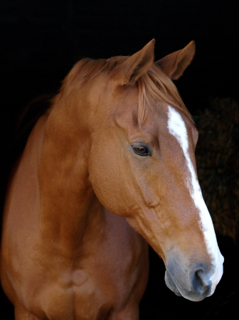 A head shot of a chestnut horse with a white blaze against a black background.
