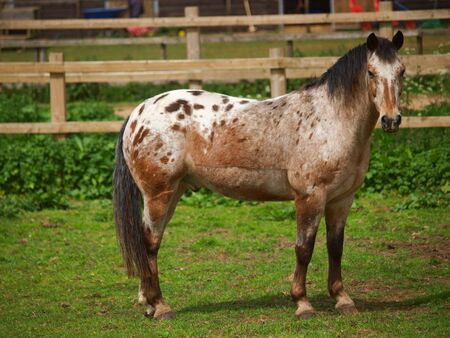 An appaloosa pony which has been clipped stands in a paddock