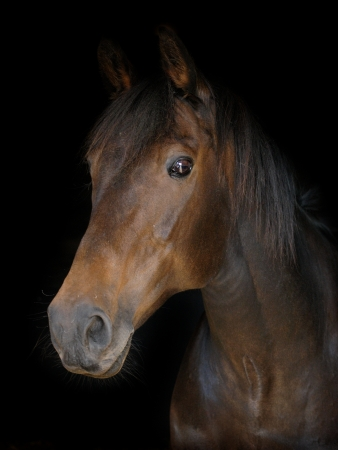 A head shot of a bay horse on a black background