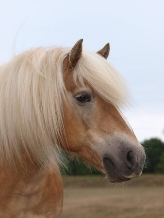 Photo for A head shot of a stunning Haflinger horse with a long flaxen mane. - Royalty Free Image