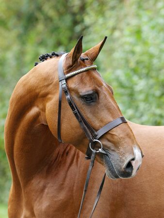 Photo pour A head shot of a stunning bay stallion in a snaffle bridle showing of the muscles in his neck. - image libre de droit