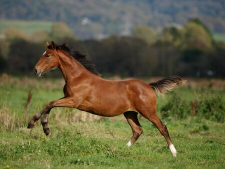 Photo pour A pretty young foal gallops through a paddock in the sunshine. - image libre de droit