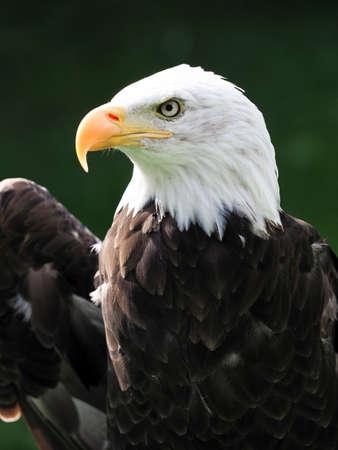Photo pour A close up of the head of a captive Bald Eagle. - image libre de droit