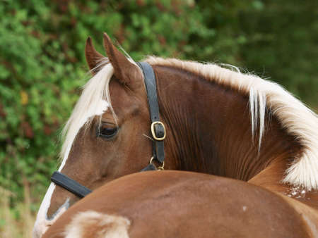 Photo for A shot of a chestnut horse shot from behind showing the curve of the neck. - Royalty Free Image